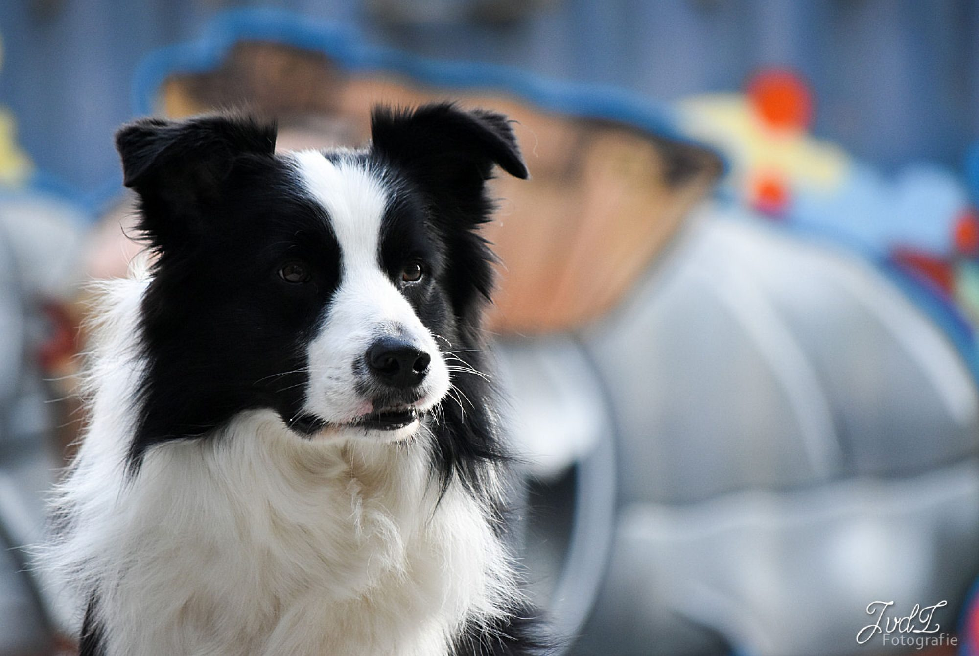 Around Tjopp's Border Collies