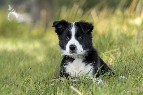 Triple, bordercollie pup